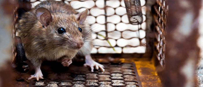 Emergency Rodent Control Services
